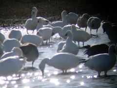 Snow geese at Hagerman Wildlife Preserve, near Pottsboro, Texas, December 2009