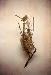 Nectarinia N1 (inmost_light) Tags: bird film nest naturalhistory etsy nectarinia