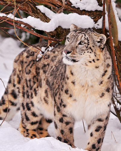 フリー画像| 動物写真| 哺乳類| ネコ科| 豹/ヒョウ| 雪豹| 雪景色|     フリー素材|