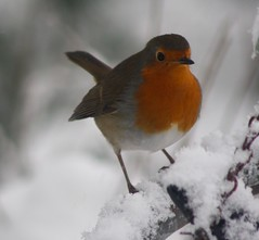 Robin (judy dean) Tags: snow bird robin redbreast goldstaraward
