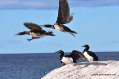 Aves Cormorones Patagonia Chile estrecho de Magallanes Punta Arenas
