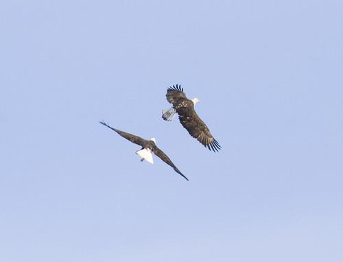 bald eagle_4