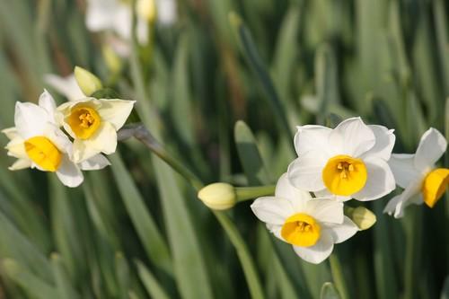 水仙 daffodil