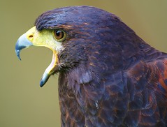 Hook (Andy von der Wurm) Tags: portrait nature animal closeup flora eagle adler beak hook buzzard nahaufnahme raubvogel birdofprey tier schnabel haken bussard hobbyphotograph natureselegantshots andreasfucke