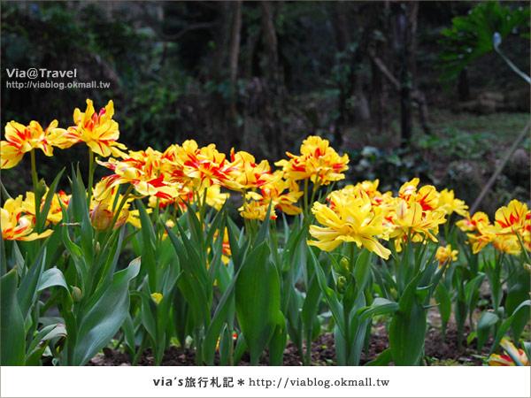 【鬱金香花季】桃源仙谷鬱金香花季開花囉19