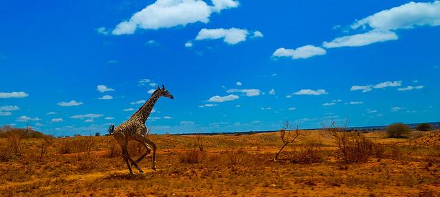 Giraffe running free, Kenya.