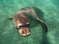 monk seal (bluewavechris) Tags: ocean life sea water animal swim mammal hawaii sand underwater maine monk maui seal creature pinniped monkseal