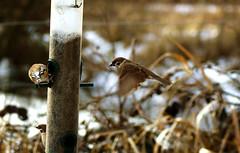 Fairburn Ings RSPB Reserve (Chris McLoughlin) Tags: uk england bird nature flying day wildlife sony yorkshire feeder sparrow tamron westyorkshire a300 fairburnings 70mm300mm sonya300 tamron70mm300mm sonyalpha300 alpha300 chrismcloughlin ferburningsrspbreserve
