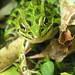 Leopard Frog 5_28_07 Helen Buckner