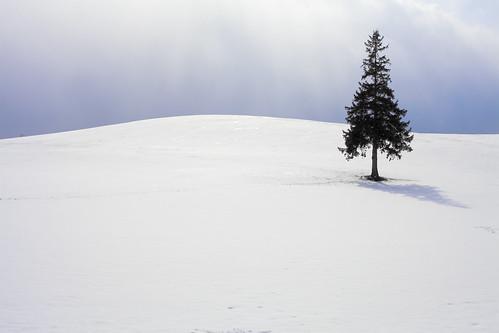 クリスマスツリーの木 #2