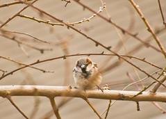 Day66 Mar7 Sunday_0008birds168A (GButterfly) Tags: d66 66365 372010