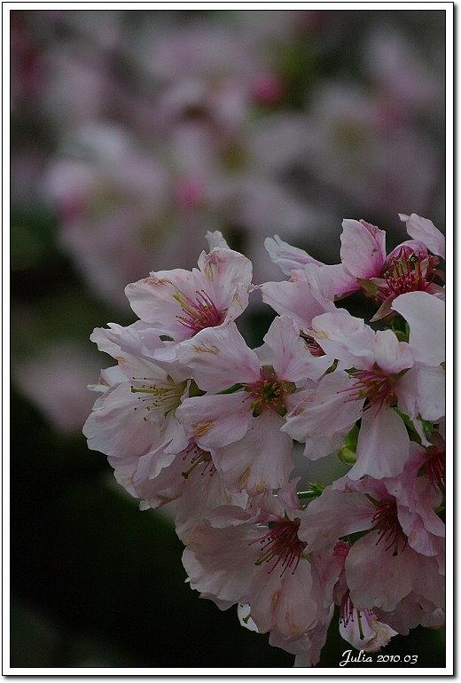 天元宮,櫻花 (15)