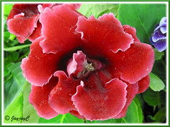 Sinningia speciosa (Florist's Gloxinia, Brazalian Gloxinia) - red double flowers with ruffled petals