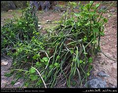 Cissus quadrangularis in Wadi Shaboon, Dhofar (Shanfari.net) Tags: winter summer nature lumix raw natural panasonic vitaceae cissus oman wadi fz  zufar rw2 salalah quadrangularis sultanate dhofar shabon  khareef   mirbat         governate cissusquadrangularis shaboon   dofar fz38 marbat  fz35 dmcfz35