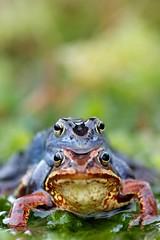 Rana arvalis amplexus 1 (Pieter-Jan Volders) Tags: blue blauw frog moor rana kikker ranaarvalis heikikker arvalis
