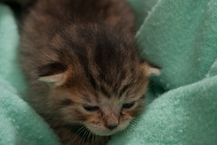 DSC_2220 (JeepXJ Photo) Tags: kittens strobist offcameralighting nikond90 purrfectcatrescue