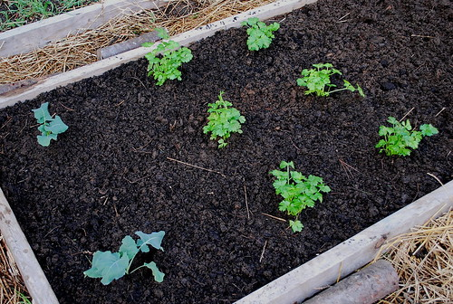 transplanted broccoli and celery