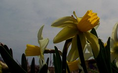 Narcissus (gairid1791) Tags: flowers spring narcissus smilingsun