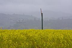Mustard Field with Wind Aerator 3770.4j (Kurt Preissler) Tags: california flower field yellow vineyard pond lily wine wind winery crop napa mustard wein aerator weinberge canoneos5d kurtpreissler preisslermediaservices