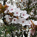 Project 365 - Day 14 - April 14th 2010 - Blossom