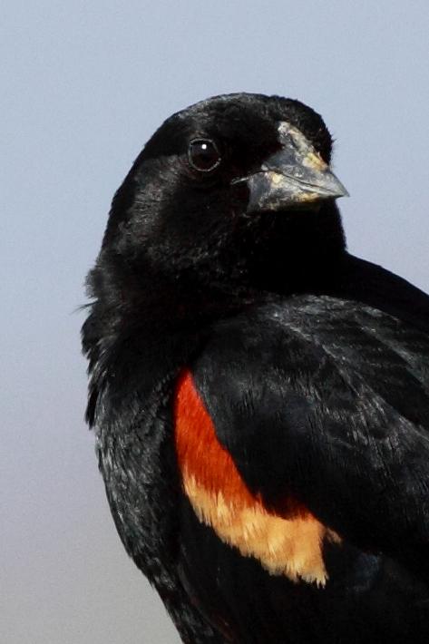 041310_redWingedBlackbird2