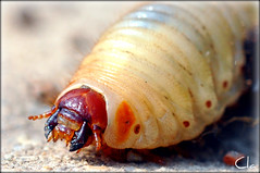 Cetonia's Larva [EXPLORE May 9, 2011 #215] (dClaudio [homofugit]) Tags: bug garden insect nikon explore larva cetoniaaurata d90 doublyniceshot doubleniceshot mygearandme