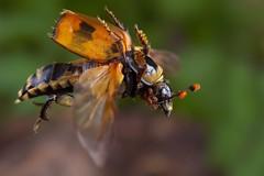 Air transport - Nicrophorus vespillo in flight (Hubert Polacek) Tags: macro studio insect beetle flight contact mites coleoptera silphidae nicrophorus insectactivity acarina buryingbeetle mesostigmata