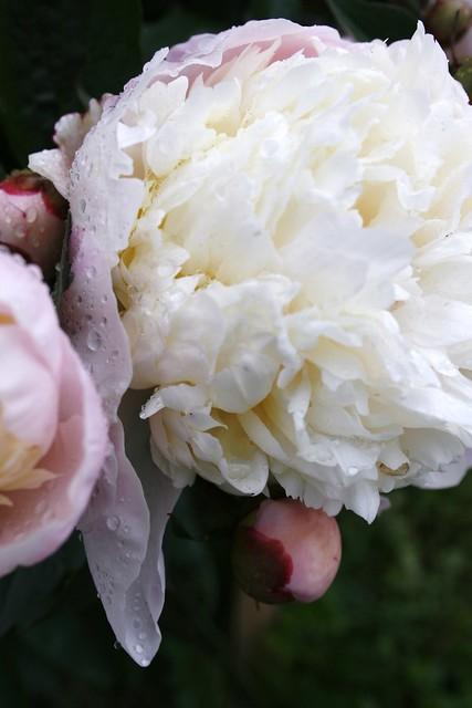 -17- gardenia