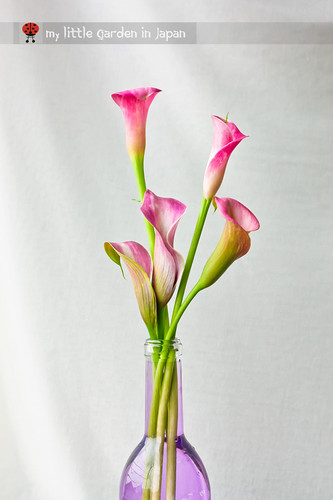 blooming-calla-lily-3