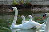 Love boat (Alexandre Kundun) Tags: baby canon eos swan 7d bébé 100400mm cygne lenz alextotoro