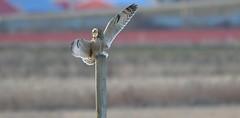 He Went That Way... (kenyoung3) Tags: asioflammeus shortearedowl owl perching deltabc birdsofprey