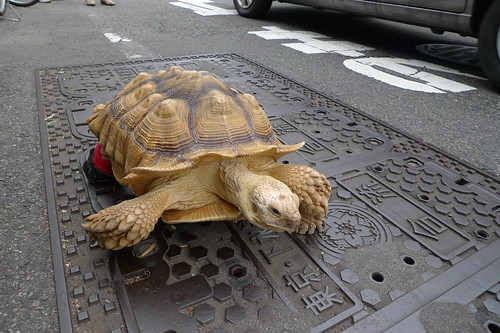 Tortoise with shoes