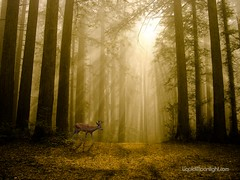 Autumn in the Redwoods - California (Darvin Atkeson) Tags: california park usa fog america forest landscape us deer redwood darvin atkeson  darv   liquidmoonlightcom imagesforthelittleprince pfevergreen