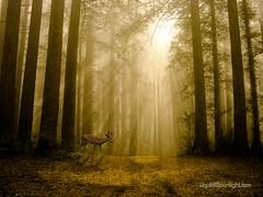 Autumn in the Redwoods - California (Darvin Atkeson) Tags: california park usa fog america forest landscape us deer redwood darvin atkeson カリフォルニア州 darv 캘리포니아 美国加州 liquidmoonlightcom imagesforthelittleprince pfevergreen