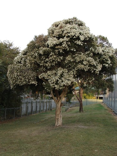 Tea-tree - Paperbark - Melaleuca linariifolia