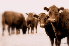 Curious Cattle (Don3rdSE) Tags: november autumn portrait fall sepia rural canon eos cattle cows angus farm iowa ia flagler blueribbonwinner 50d abigfave canon50d platinumphoto platinumheartaward goldstaraward eastknoxville don3rdse chrismanfamilyfarms mygearandmepremium