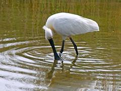 Lepelaar (Hennie Cuper) Tags: spoonbill lepelaar platalealeucorodia descheg canon450d tamron18270 balij birdsvogelsdierenanimals