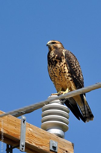 Swainson's (Buteo swainsoni) Hawk
