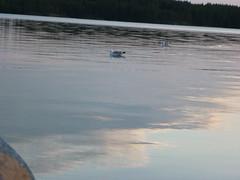 Night sky 14 (PhotoNinja.Chunin) Tags: lake finland fishing europe seagull gull nightphoto pihlajavesi ahvenisto easternfinland itsuomi treeshot