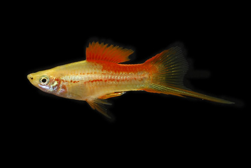 Swordtail Male