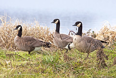 Postage Stamp Geese (Gary Grossman) Tags: wild lake nature geese washington moody natural northwest cloudy wildlife foggy canadian wetlands pacificnorthwest serene lovely perfection canadageese postagestamp ridgefield