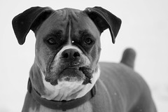 (StephsShoes) Tags: blackandwhite dog ranger fawn boxer snowing ohyes canon70200f4l nubs thelittledoglaughed