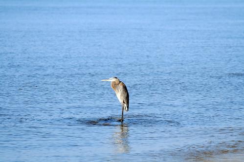 gulfportbird