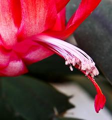 Christmas Cactus Macro 4