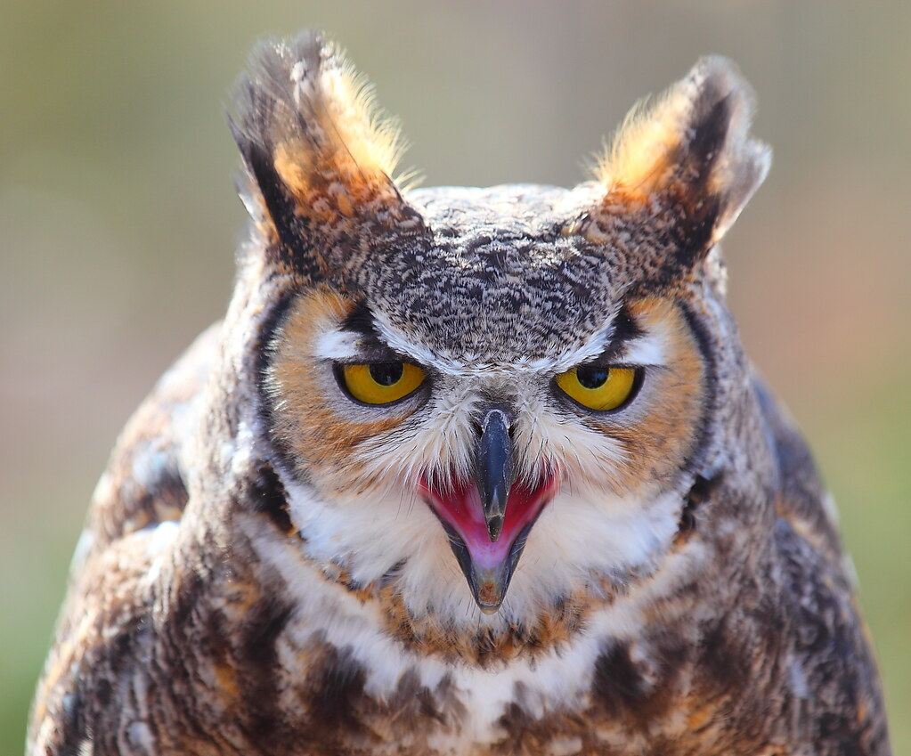 Great Horned Owl Head On