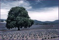 Oak (ChrisOos) Tags: tree oak lavender tasmania polariser