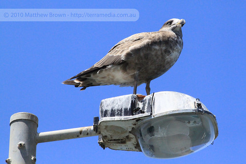 Albatross on a Lamp Post