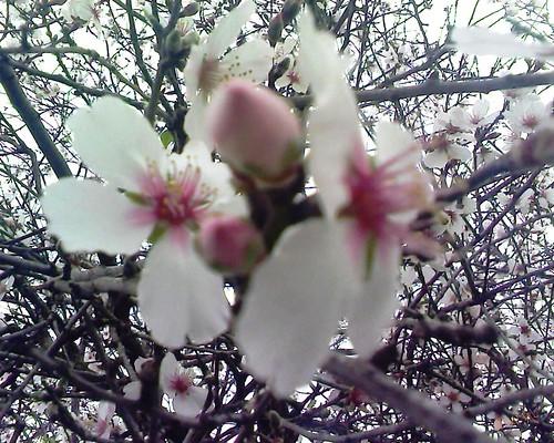 Amandier en fleurs لوز مزهر