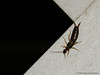 Creepy Crawly (dazz_delamorte) Tags: bug insect creepy earwig crawly pinchers