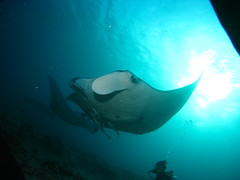 Manta Rays up close and personal